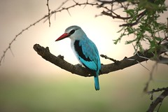 Woodland Kingfisher (hvhe1) Tags: africa lens ilovenature tanzania topv555 topv333 bravo kenya wildlife kingfisher hennie topvaa featheryfriday specanimal animalkingdomelite abigfave hvhe1 hennievanheerden