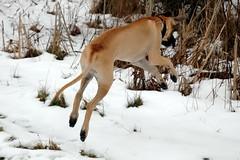 adorkable (snapstill studio) Tags: ranch silly goofy fun jump jumping michigan greatdane tex pounce leap attica martinmcreynolds