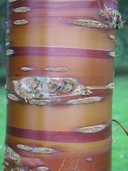 Roundhay Park (yorksgalSue pain is a pain) Tags: red orange brown tree yorkshire leeds bark shiney knots westyorkshire