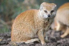 Yellow Mongoose (Digitally Angelic) Tags: mammal mongoose yellowmongoose cynictispenicillata aquazoo vosmangoest fuchsmanguste animaladdiction animalkingdomelite mangoustejaune