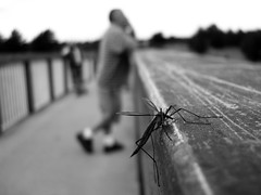 Just admiring the view. (Ch@rTy) Tags: world uk bridge england blur topf25 sepia bug insect relax gold fly focus dof view bokeh small tint 100v10f depthoffield charlie cranefly tyack abigfave charlietyackcom top20mp 30faves30comments300views