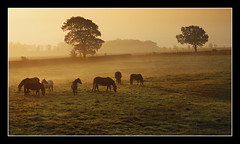 Sunrise Horses (NorthernXposure) Tags: mist sunrise d50 landscape scotland specland 123f50