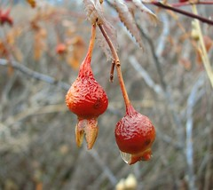 Rooster Head Berry (Carplips) Tags: red bird water scarlet berry drop rosehips imitation lookalikes birdhead roosterhead