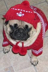 Spike Red Sweater (lrivera) Tags: dog sad pug spike potrait sadface saddog doghat dogclothing redclothes