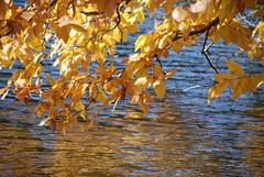 Golden Water (noahg.) Tags: autumn red orange lake reflection slr water leaves yellow digital catchycolors pond nikon bravo zoom branches relaxing kitlens zen serene ripples karma af nikkor dslr tranquil autumnal november3 zoomlens autofocus nikkorlens autumnalcolors d80 theworldthroughmyeyes gtaggroup noahbulgaria bigfave abigfave nikond80 nikkorkitlens afsnikkor18135mm13556ged bendinglightmag anawesomeshot