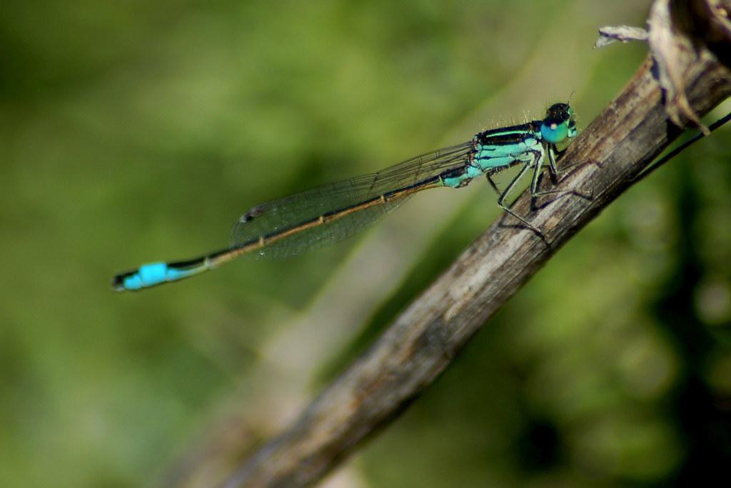 Iberian Bluetail (Ischnura graellsii)