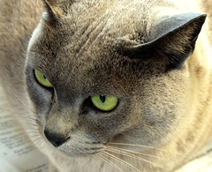 Merlot on the news (EssjayNZ) Tags: 15fav closeup cat newspaper 2006 greeneyes merlot burmese essjaynz kiss2 mireasrealm taken2006 kiss3 kiss1 kiss4 kiss5 sarahmacmillan