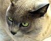 Merlot on the news (EssjayNZ) Tags: 15fav closeup cat newspaper 2006 greeneyes merlot burmese essjaynz kiss2 mireasrealm taken2006 kiss3 kiss1 kiss4 kiss5 sarahmacmillan