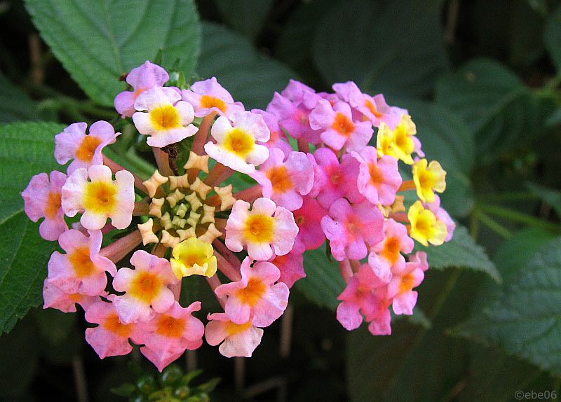 "Lantanas ""outdoor"""