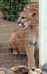 Puma Concolor (Furryscaly) Tags: hairy rescue face animal pen cat fence mammal zoo washington furry feline spokane sitting head lion tan cage chainlink caged bigcat animalrescue wa mead puma predator wildcat washingtonstate sideview captive panther cougar animalia mammalia captivity mountainlion carnivore tawny cattales pumaconcolor zooanimal catamount penned carnivora meateater smallcat felidae chordata felinae taxonomy:kingdom=animalia taxonomy:class=mammalia taxonomy:phylum=chordata cattaleszoologicalpark taxonomy:order=carnivora taxonomy:family=felidae taxonomy:binomial=pumaconcolor taxonomy:genus=puma felispuma taxonomy:common=cougar taxonomy:common=puma taxonomy:common=mountain