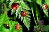 multi ladybird