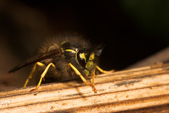 "Hairy Wasp(1) • <a style=""font-size:0.8em;"" href=""http://www.flickr.com/photos/57024565@N00/296513525/"" target=""_blank"">View on Flickr</a>"