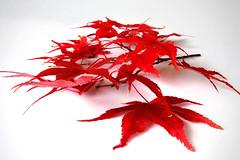 old flame (*Meredith) Tags: autumn red white scarlet japanese leaf maple bravo flame exploreinterestingness bloodhound favview5 2for2 abigfave 30faves30comments300views impressedbeauty 25percentmagicdonkey