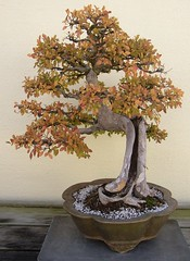 Chinese Elm (Cowtools) Tags: autumn fall washingtondc bonsai nationalarboretum october2006