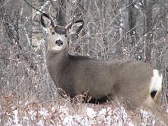 Weary (annkelliott) Tags: winter canada calgary nature animal outdoors wildlife explore alberta muledeer interestingness148 i500 explore2006nov17