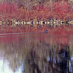 Lonesome Duck (Jeannot7) Tags: red lake reflection duck mallard dogwood loafers loaferslake