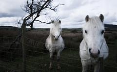 Who's gonna ride your wild horses? (c@rljones) Tags: horses horse nature animals wales wildlife cymru pony highkey drama wildhorses gwynedd pwllheli belial nov06 status:move=0 httpwwwrljonescouk