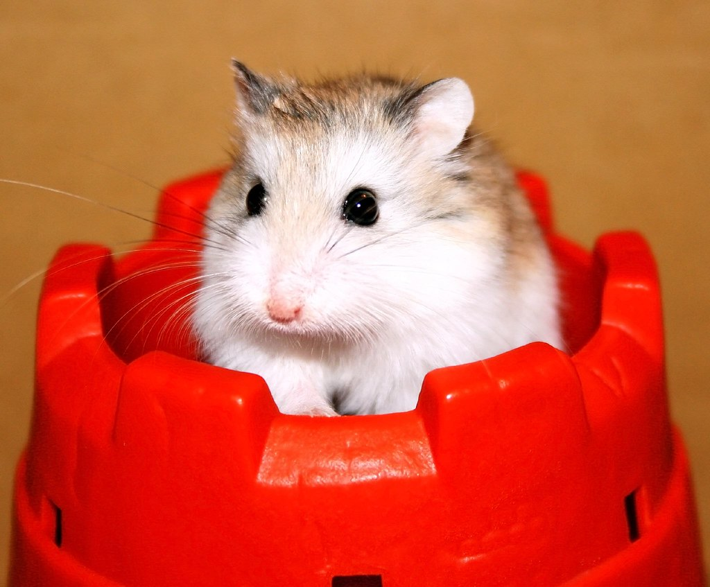 pictures of hamsters animal photos