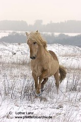 190205 (34) Kopie (Lothar Lenz) Tags: schnee winter horse caballo cheval sauber cavallo cavalo pferd hest equus paard hst hestur konj hobu zirgs lotharlenz impressedbeauty