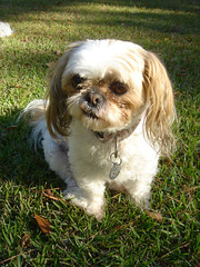 The Elvis Sneer. (kelly-bell) Tags: dog pets face animals shihtzu elvis mattie animalplanet allanimals sneed yearofthedog petparade goofydog animaladdiction elvissneer dogsdogsandmoredogs