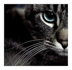 silent roar (parade in the sky) Tags: portrait cute topf25 animal closeup cat photoshop grey interestingness intense furry feline dof stripes blueeyes gray lucas sharp whiskers half gaze elizas cc300 artlibre 30faves30comments300views
