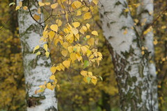birches (piktorio) Tags: park autumn tree berlin fall nature leaves germany offshore foliage birch beech birchtree beechtree