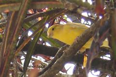 Born free 2 (Arlete M) Tags: brazil bird birds yellow brasil amarelo pssaros oiseau vogel pjaro uccello canrio passarinhos canarinho animalkingdomelite