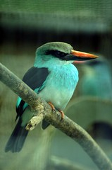 Kingfisher (dbillian) Tags: bird nature birds animal animals singapore wildlife kingfisher jurong damon damonbillian billian