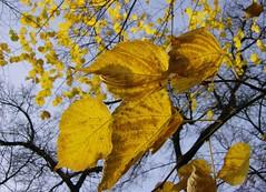 Golden Leaves and Blue Skies (monika & manfred) Tags: vienna austria commute mm lateautumn unicampus theinterestingest utatathursdaywalk32
