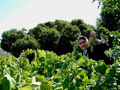 Kiana (Somayeh T) Tags: tree green kiana iran grape karaj somayeh karadj