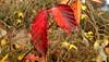 blackberry leaf, December (Martin LaBar (going on hiatus)) Tags: southcarolina pickenscounty blackberry leaf autumn fall otoño color waterdrops stem rubus rosaceae red veins