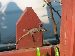 Lizard on fence (little time bomb) Tags: laos mekong pdr