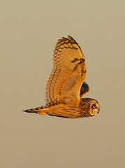 Short-eared Owl  By Mark Trabue (Mark Trabue) Tags: county bird mark quality indiana jackson short owl bottoms ewing eared ias asioflammeus trabue specanimal animalkingdomelite akimageoftheday