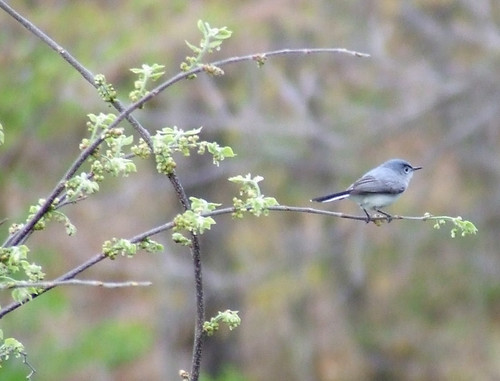 gnatcatcher on scarlet oak