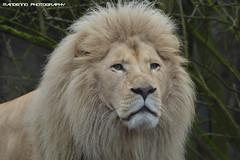 African white lion - Ouwehands dierenpark (Mandenno photography) Tags: ouwehands rhenen african lion lions leeuw leeuwen credo white whitelion nederland netherlands
