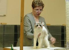 Montreal CAT SHOW (appaIoosa) Tags: cats cat chats kitten catshow afc  cca appaloosa canadiancatassociation clubflindemontral lenoldeschats