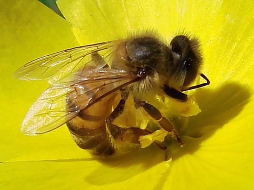 Si las abejas desaparecen, también el hombre, dijo Einstein
