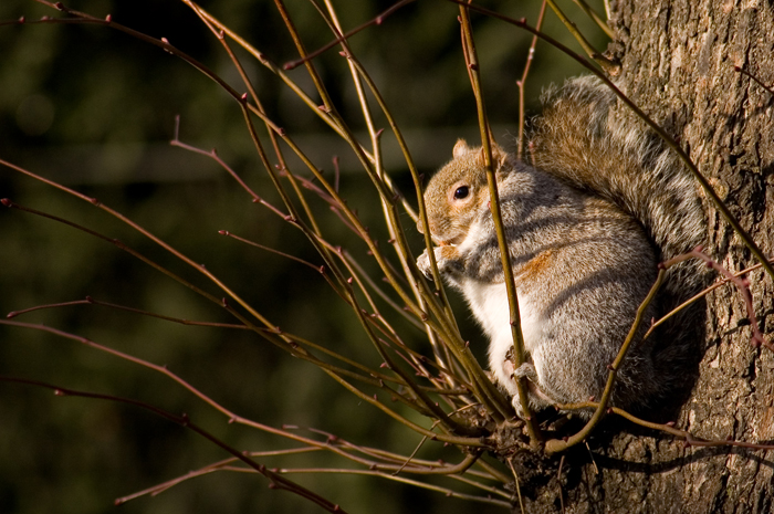 Regent's Squirrel :: Click for previous photo