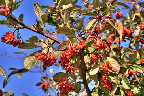 012307 red berries