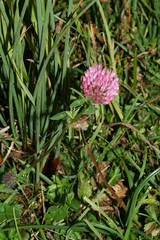 1276907006 Red_Clover 2007-08-29_19:16:27 Greenham_Common