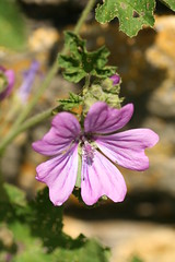 527560714 Common_Mallow 2007-06-02_12:58:01 Oxford_Canal