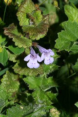 548742188 Ground_Ivy 2007-06-13_19:38:28 Cothill