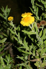 1276998920 Common_Fleabane 2007-08-29_19:53:00 Greenham_Common