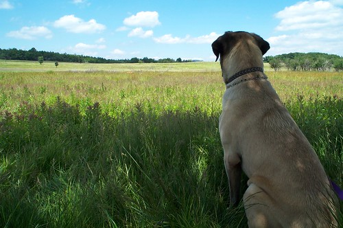 dog gazing across a field