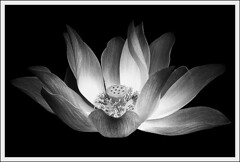 the black and white lotus (bhima @ flickr) Tags: blackandwhite bw flower canon indonesia bravo lotus 2006 100v10f september bandung bhima instantfave 123bw artlibre bhiima