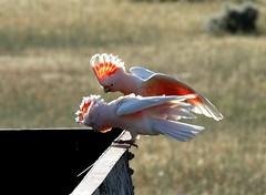 Major Mitchells (beeater) Tags: bird australia nsw outback cockatoos australianbirds pinkcockatoo cacatualeadbeateri lophochroaleadbeateri