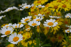 Chamomile - In memory of summer