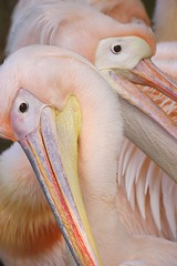 Pelican pastels (hvhe1) Tags: color bird birds pastel pelican vogel hennie featheryfriday specnature animaladdiction animalkingdomelite hvhe1 hennievanheerden