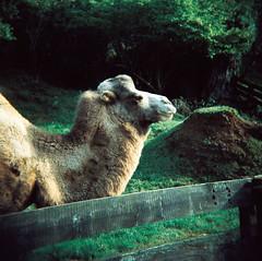 Lomo de Camello (DavidGorgojo) Tags: verde green film animal analog holga lomo xpro lomografa crossprocessed procesocruzado kodak slide camel pelicula camello cantabria analogica 100club diapositiva 120mm analogic cabrceno lomographic 50club ektachroma