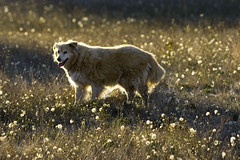 Keisha (007Ben) Tags: summer dog pet animals barn goldenretriever happy mix collie dof bokeh naturallight canine backlit cloverdale dandelions keisha 200mmf28l goldenretrievercollie canonef200mmf28l